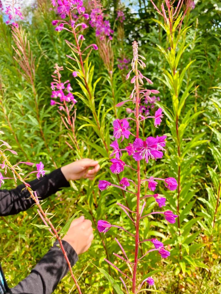 Foraging in Scotland for Rosebay Willowherb