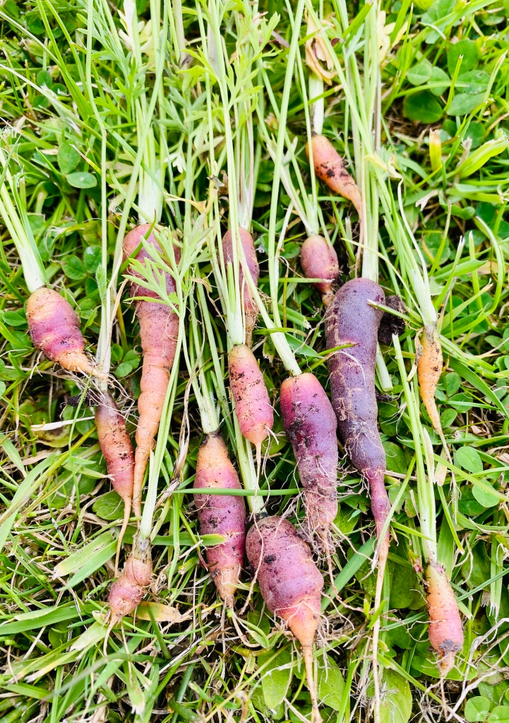 How to grow carrots at home - homegrown carrots